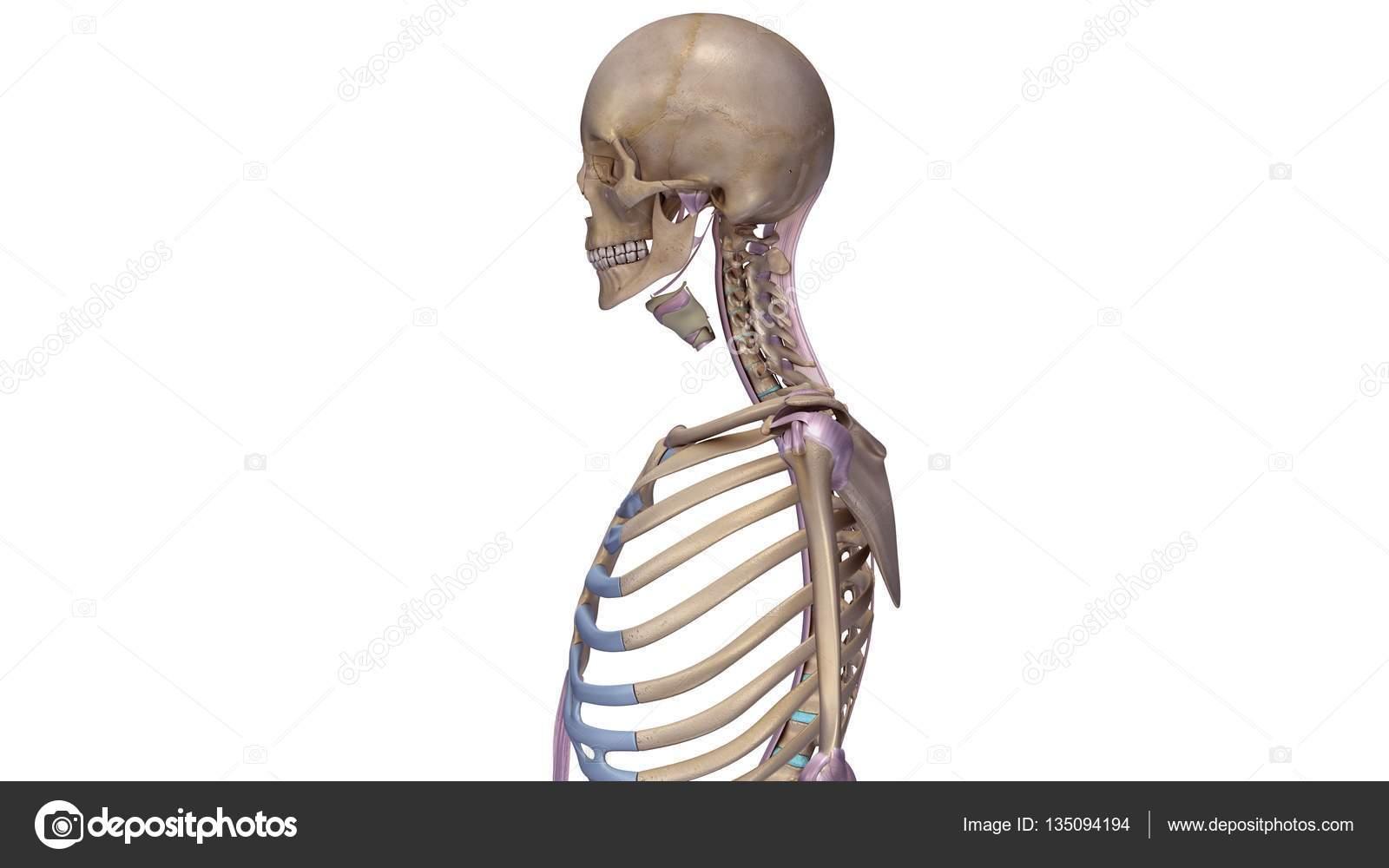 Skelett mit Bänder illustration — Stockfoto © sciencepics #135094194