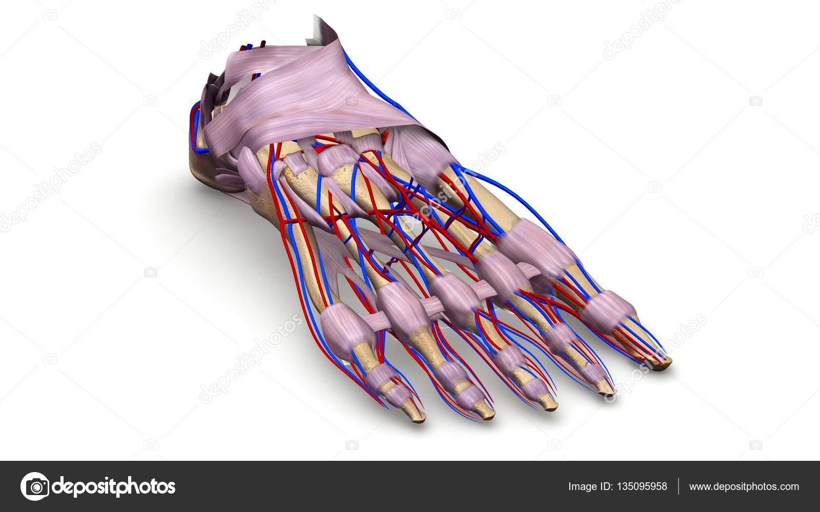 Ilustración 3d de huesos de pie — Foto de stock © sciencepics #135095958