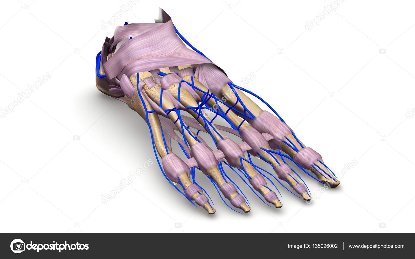 Fuss Knochen 3d illustration — Stockfoto © sciencepics #135096002