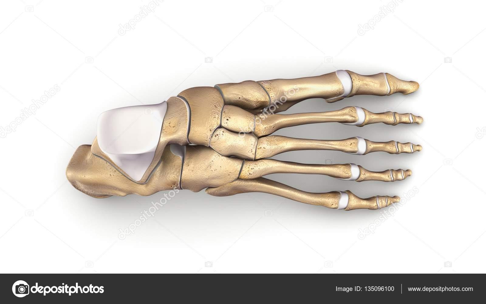 Ilustración 3d de huesos de pie — Fotos de Stock © sciencepics ...