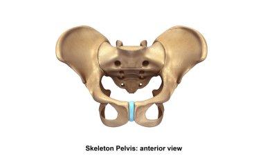 Skeleton Pelvis illustration