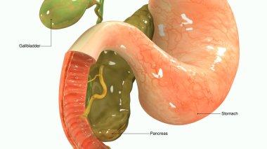 Pancreas 3d illustration