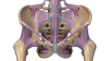 Skeleton hip illustration