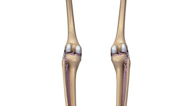 Skeleton Knees Joint