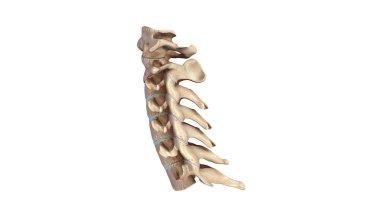 Cervicle vertebrae 3d