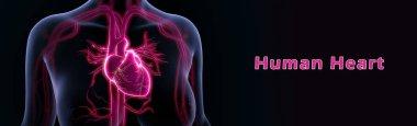 Heart anatomy illustration