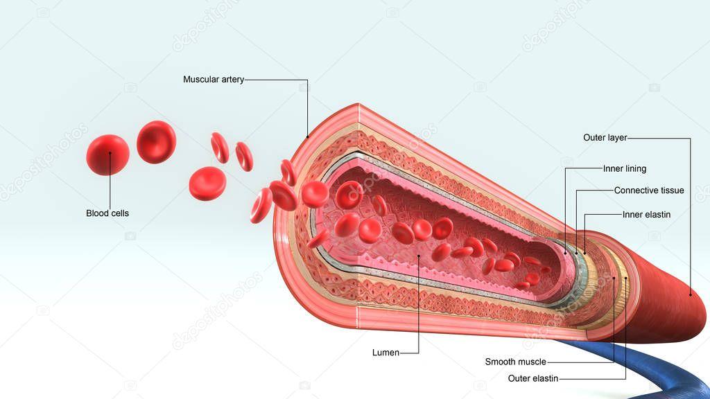 blood vessels illustration