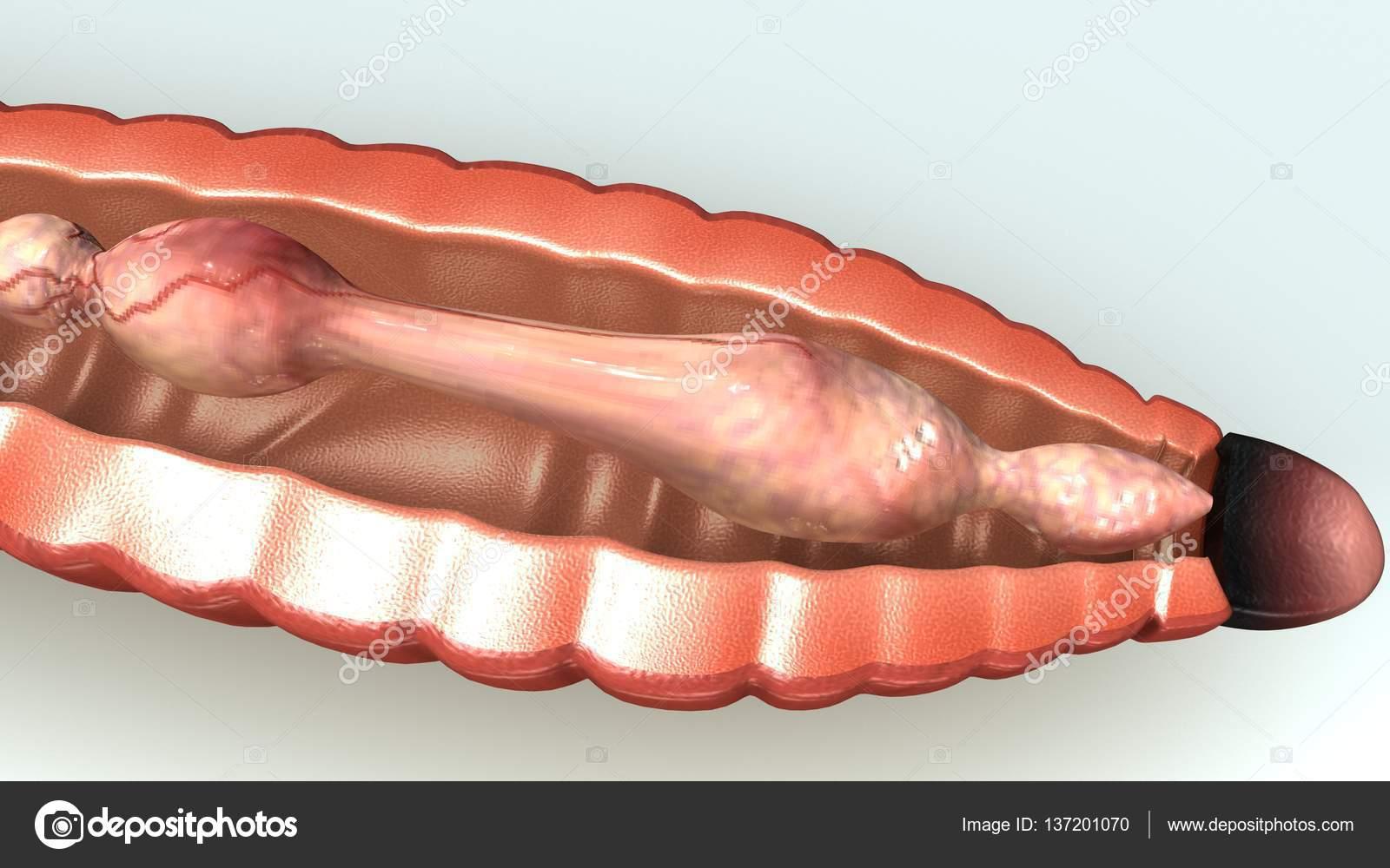 Ilustración de anatomía de lombriz — Foto de stock © sciencepics ...