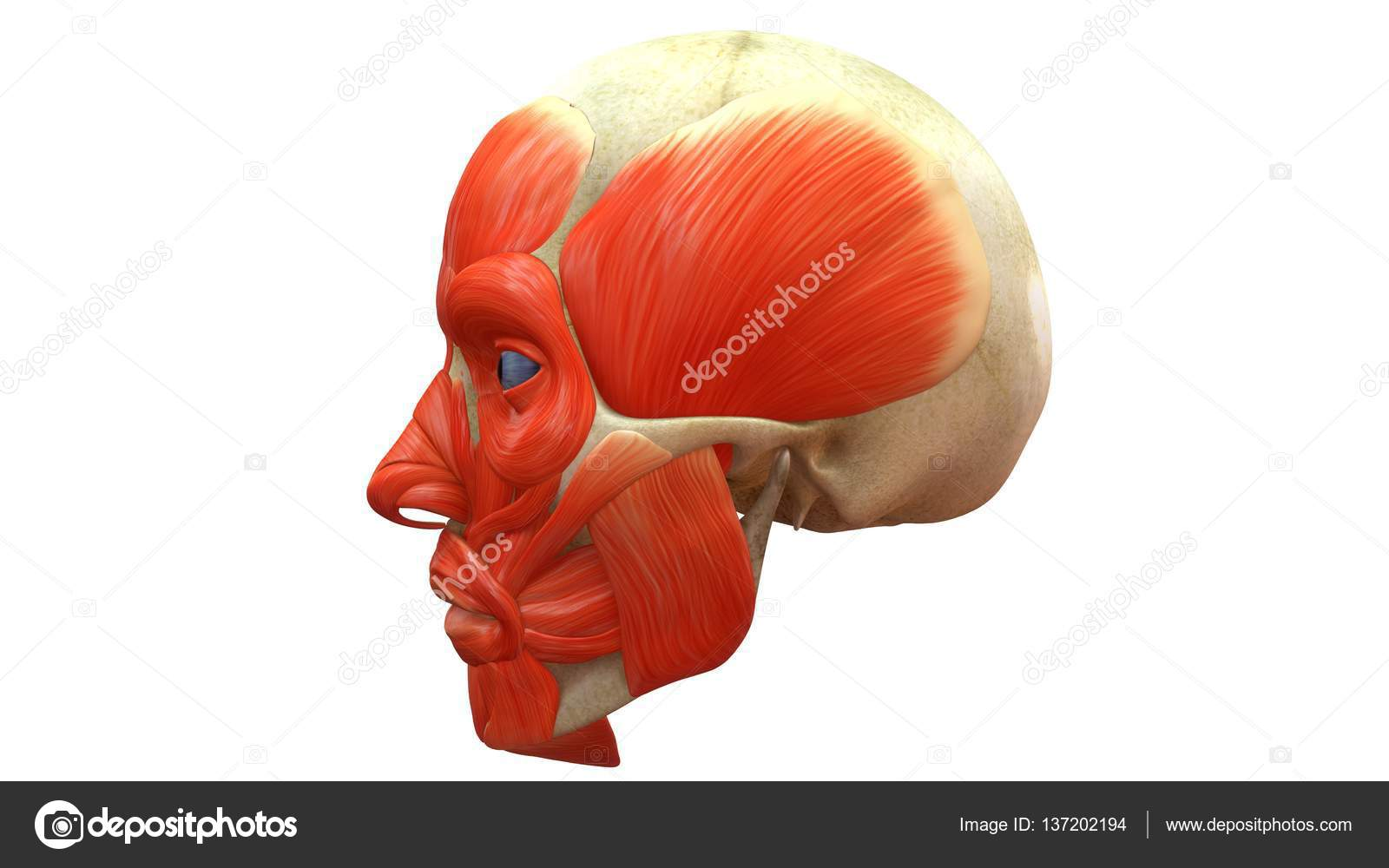 Human Skull with muscles — Stock Photo © sciencepics #137202194