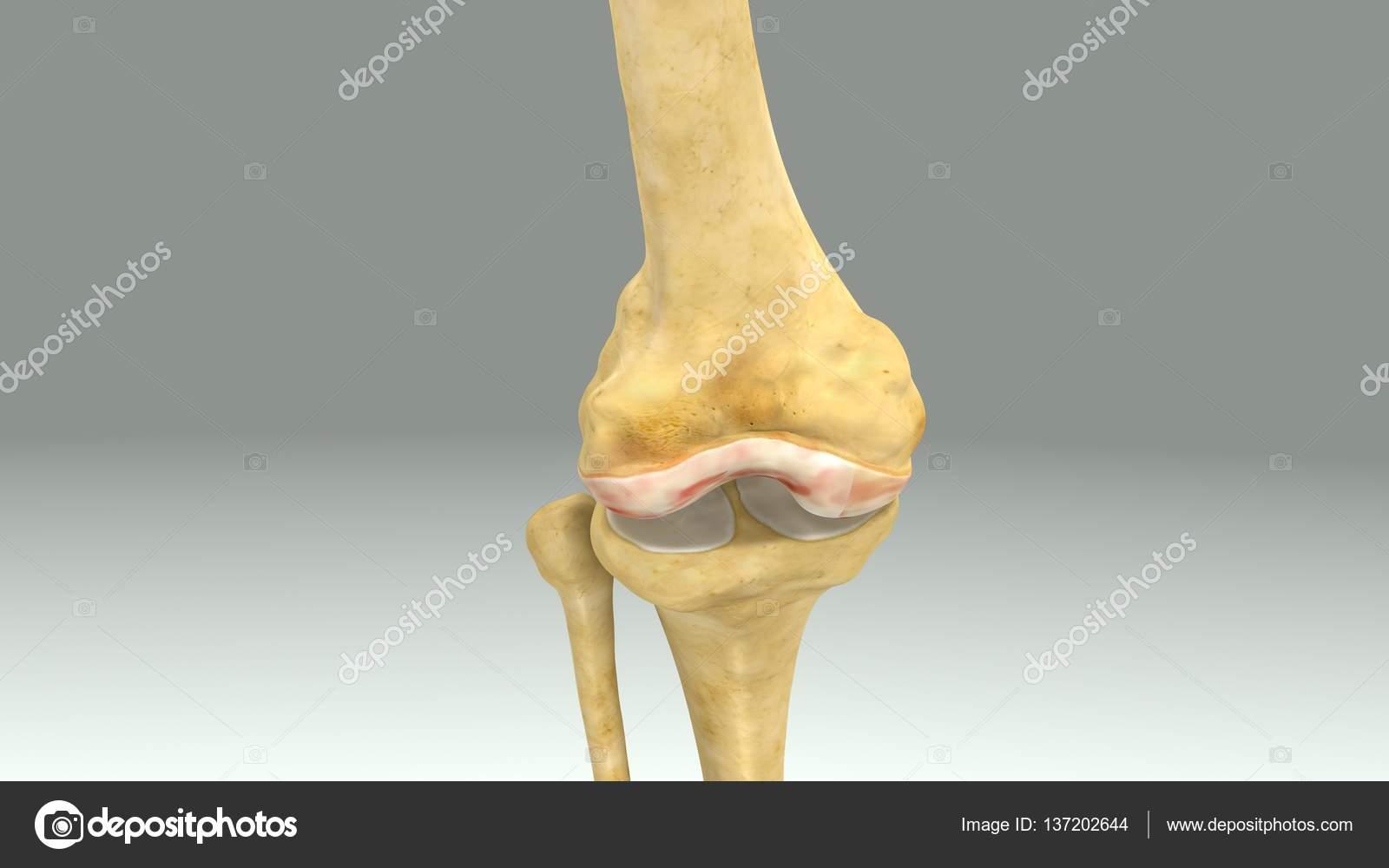 Anatomía articulación rodilla — Fotos de Stock © sciencepics #137202644