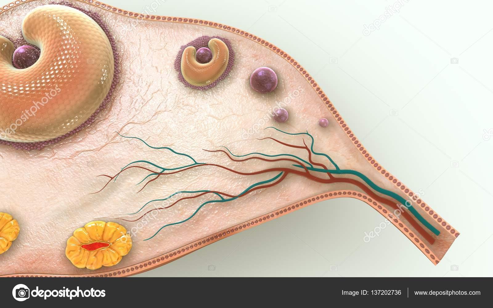 Eierstock 3D-Illustration — Stockfoto © sciencepics #137202736