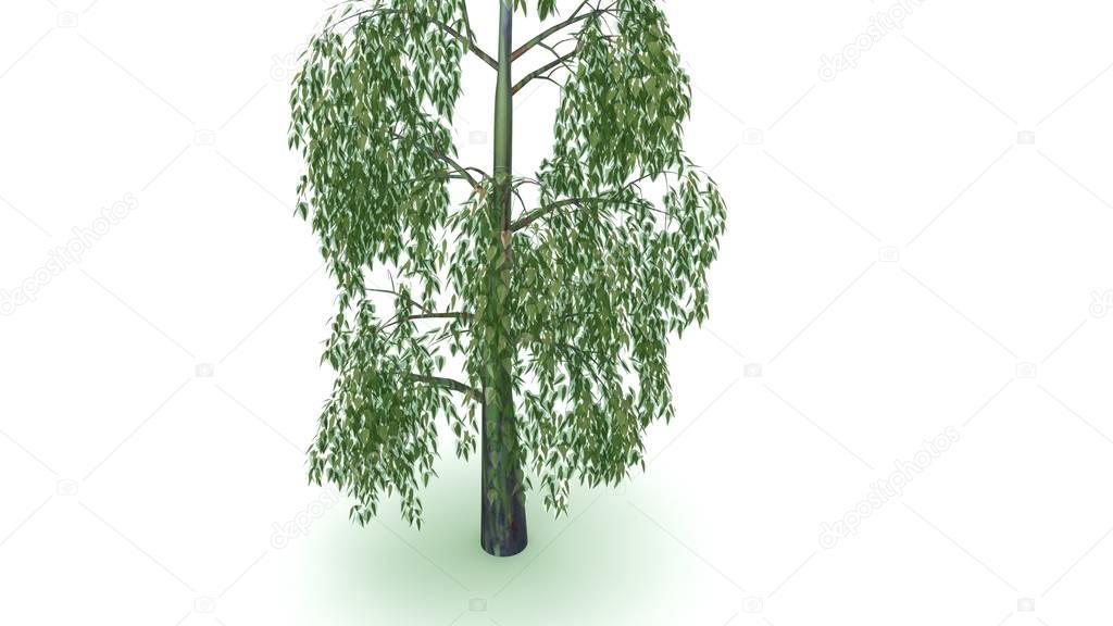 Eucalyptus on grey background