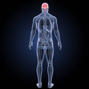 Human brain posterior view