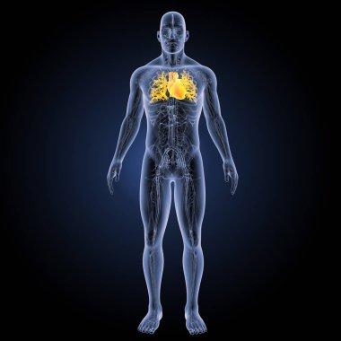 Human Heart anterior view