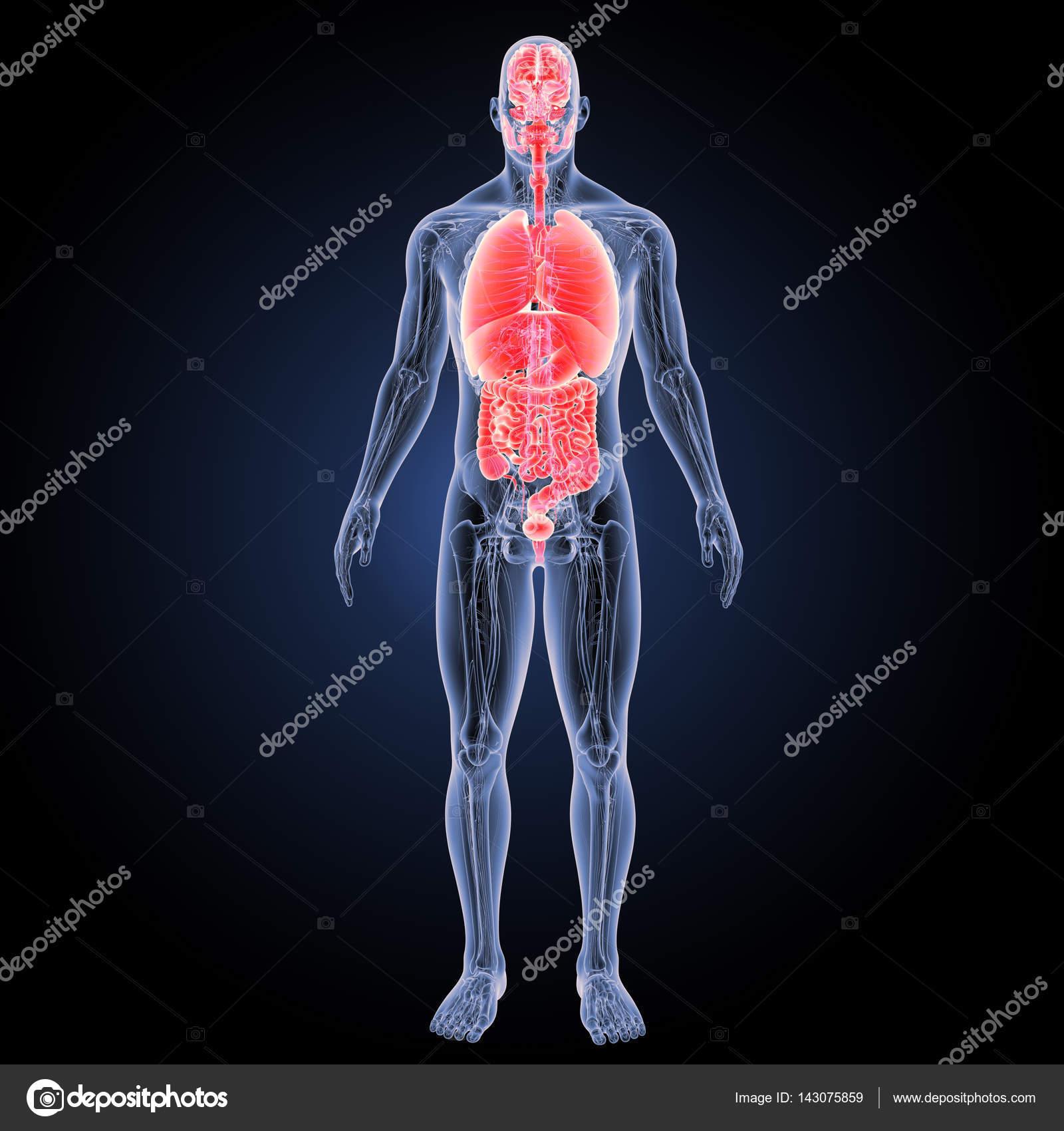 Vista anterior de órganos humano — Fotos de Stock © sciencepics ...
