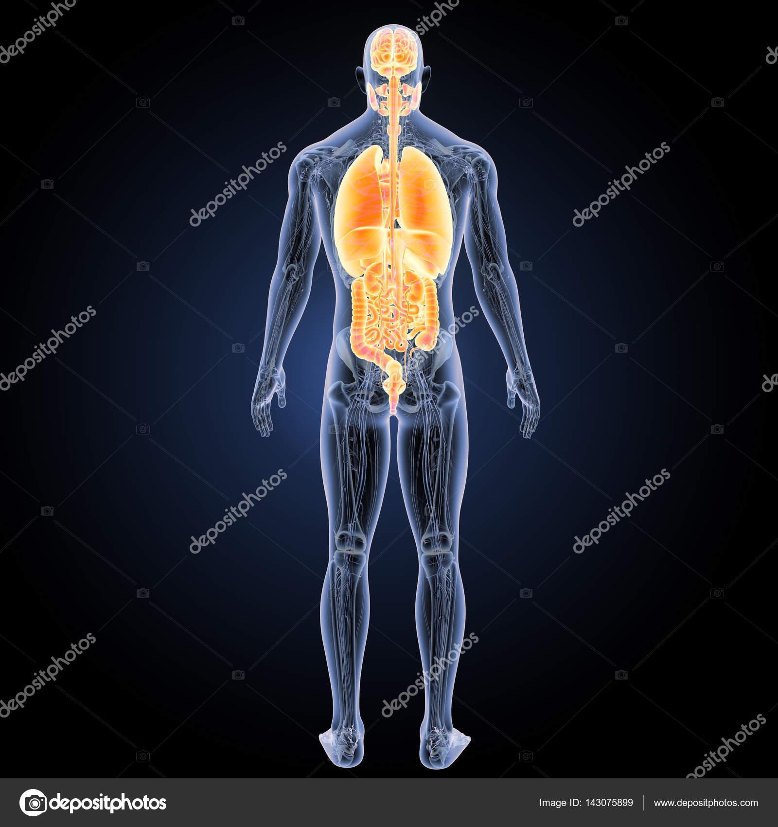 Vista posterior de órganos humano — Fotos de Stock © sciencepics ...