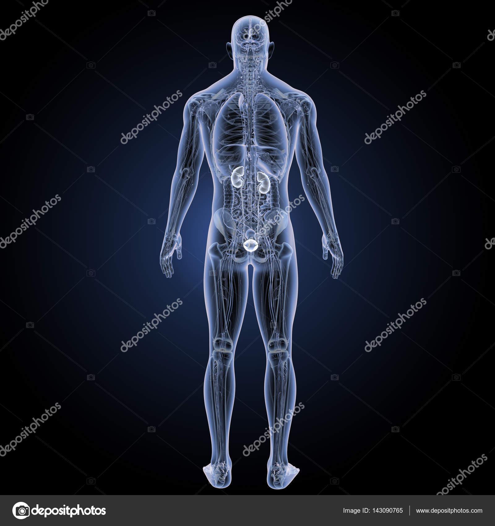 Harnwege hintere Ansicht — Stockfoto © sciencepics #143090765