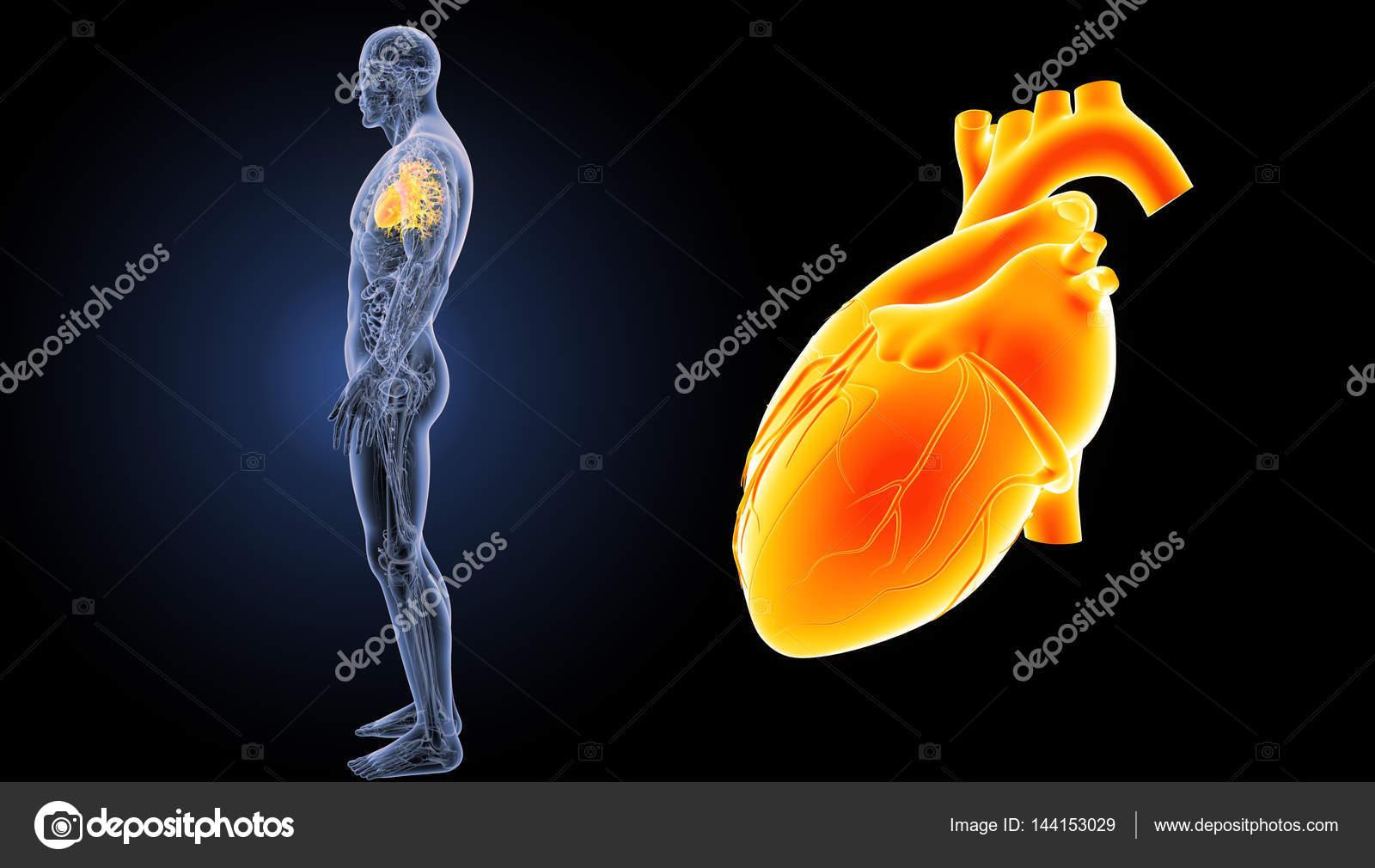 Ansicht des menschlichen Herzens — Stockfoto © sciencepics #144153029