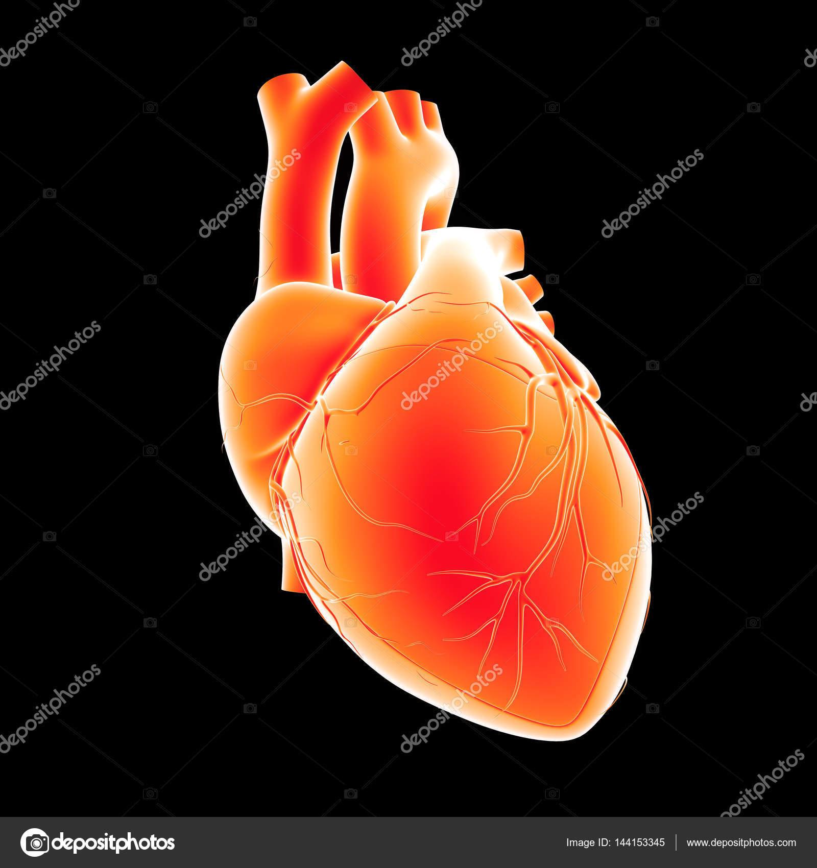 Ansicht des menschlichen Herzens — Stockfoto © sciencepics #144153345