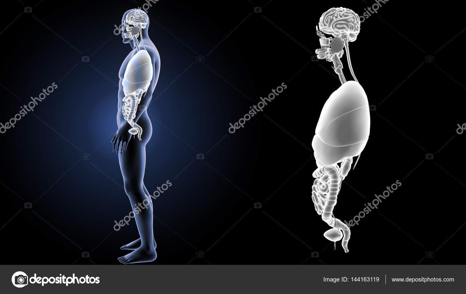 Vista de órganos humanos — Foto de stock © sciencepics #144163119