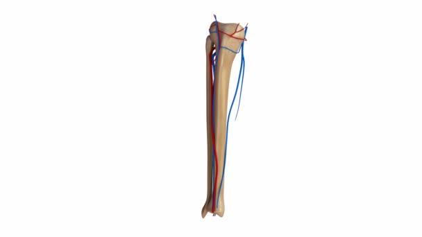 Schienbein- und Wadenbeinarterien und Venen