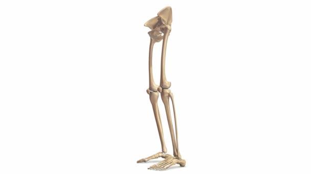 Estructura del hueso de extremidades inferiores — Vídeo de stock ...