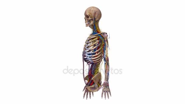 Parte superior del cuerpo ligamentos, arterias, venas — Vídeo de ...
