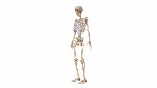Skeleton bone structure