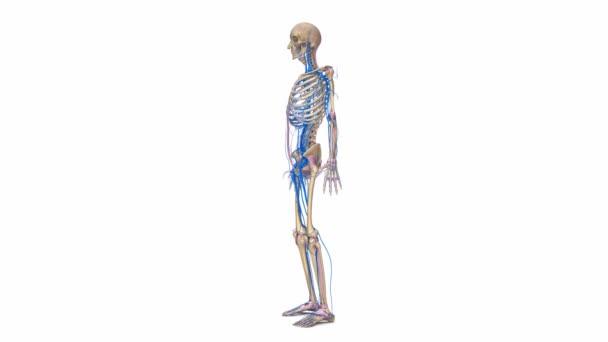 Bänder und Venen im Skelett