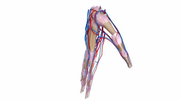 Palmbänder, Arterien und Venen