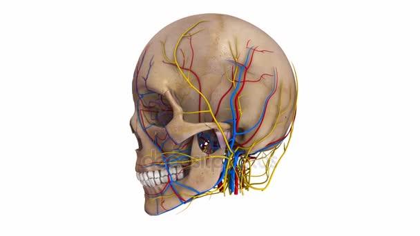 Schädel mit Arteriensystem