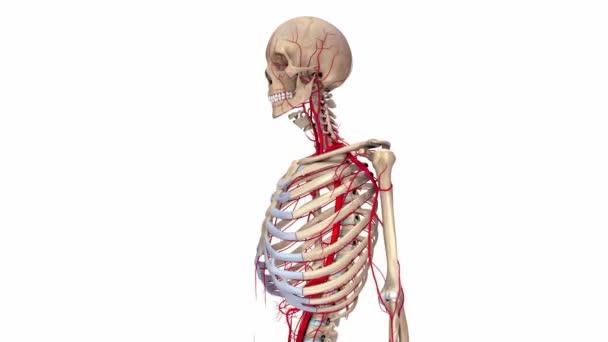 Skelett mit Arterien-system — Stockvideo © sciencepics #144640243