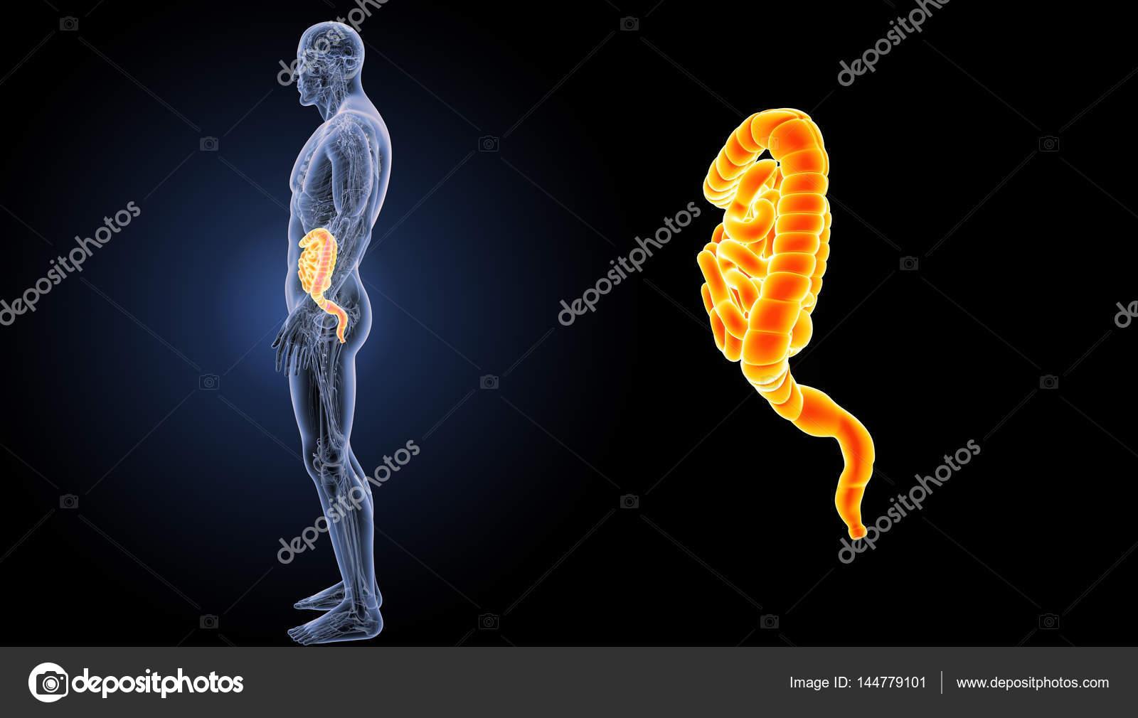 Small and large intestine — Stock Photo © sciencepics #144779101