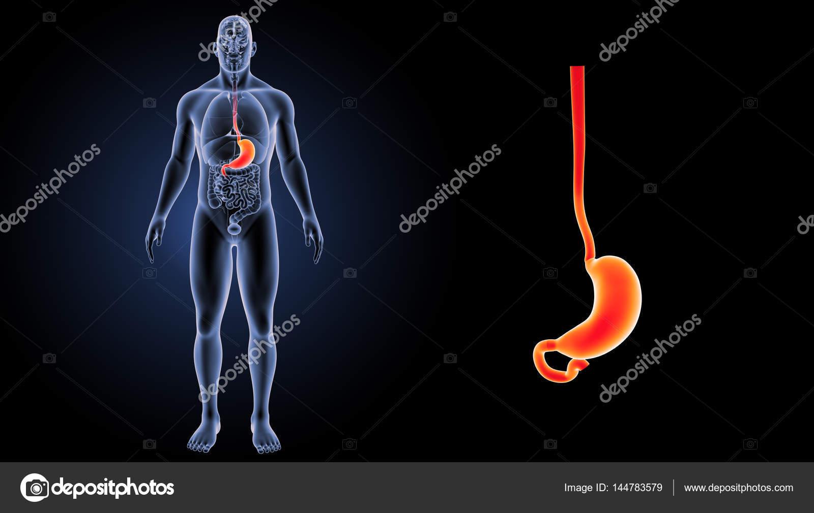 Estómago humano Zoom — Foto de stock © sciencepics #144783579