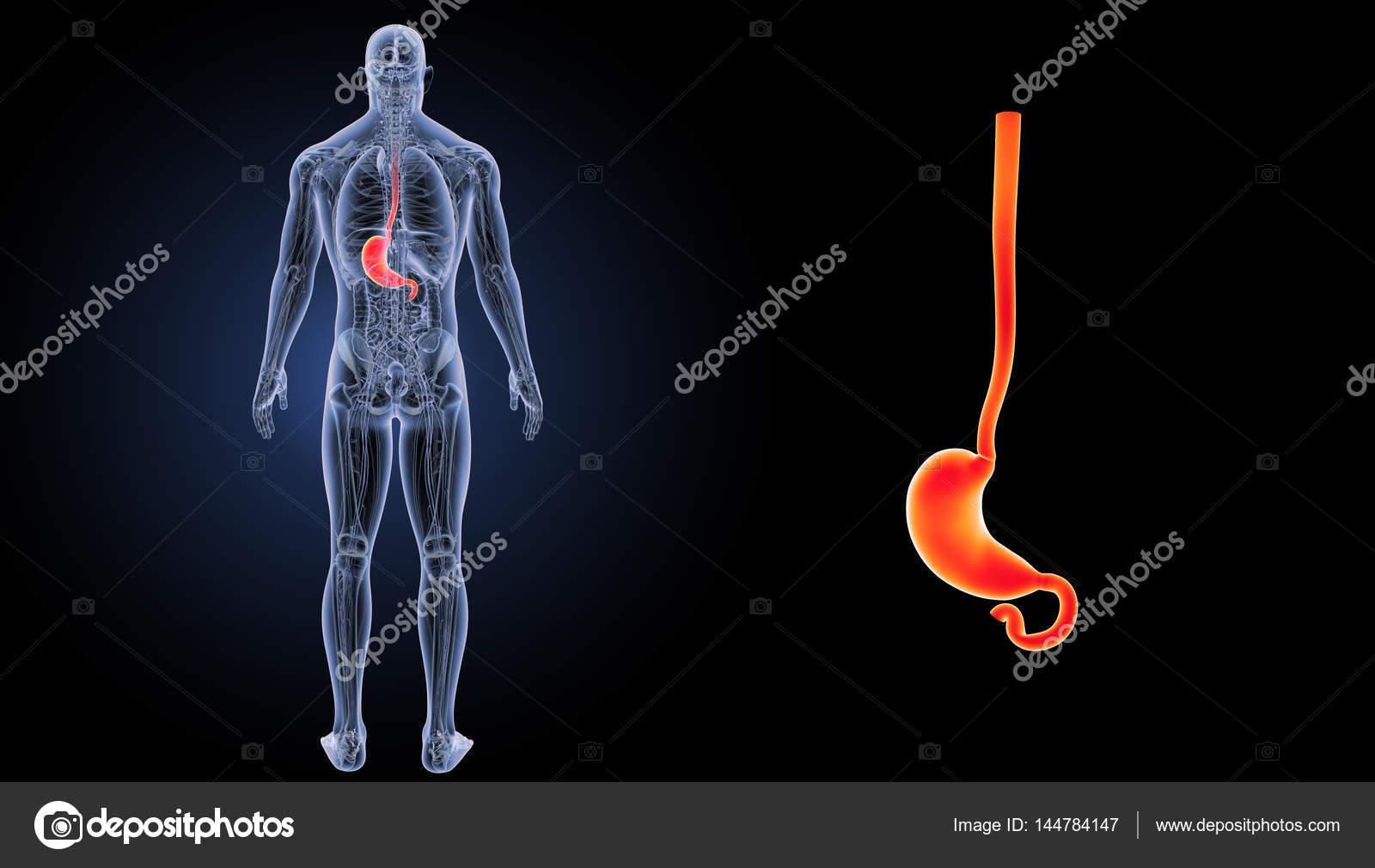 Estómago humano Zoom — Foto de stock © sciencepics #144784147