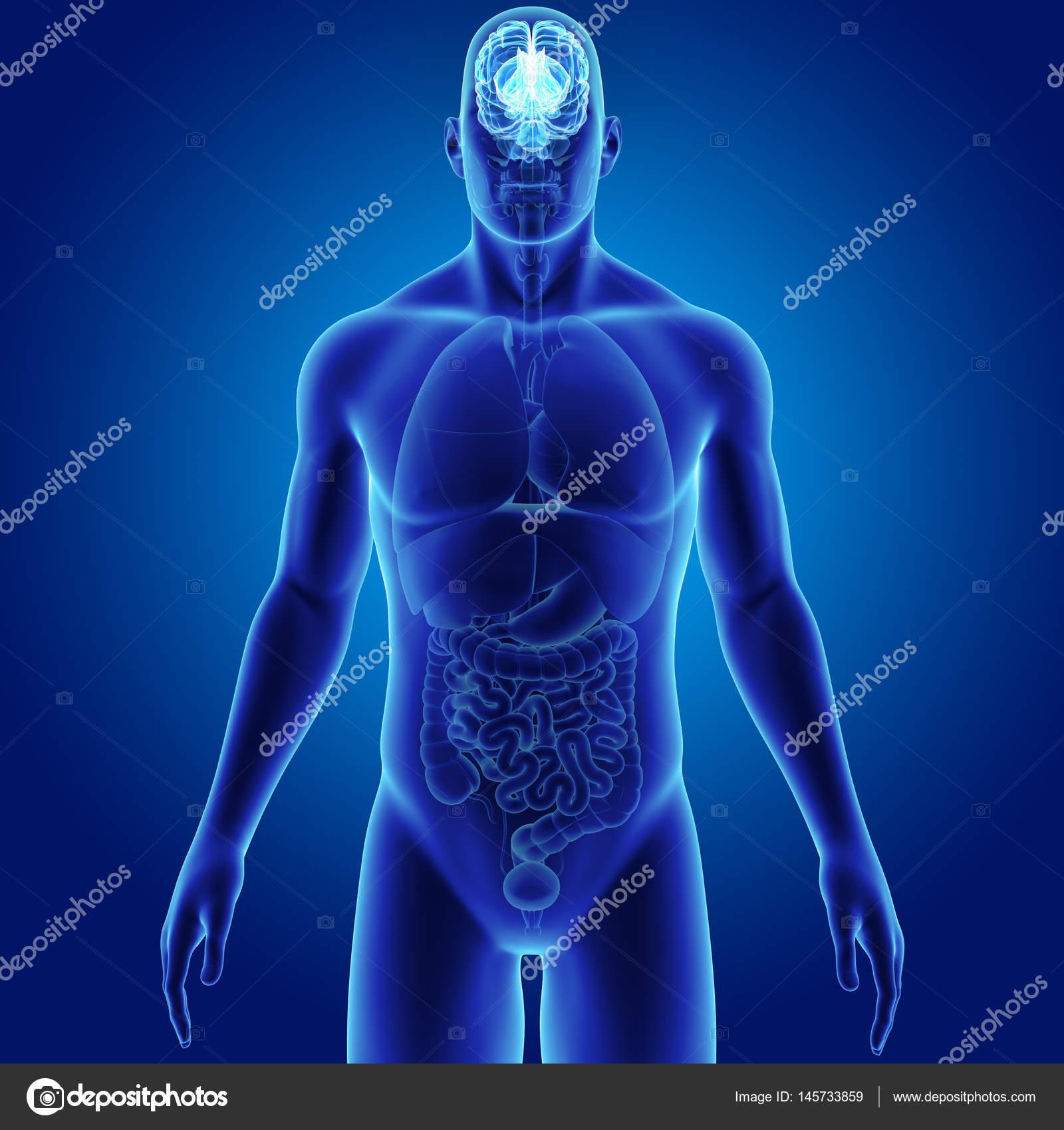 Cerebro con vista anterior del cuerpo — Fotos de Stock © sciencepics ...