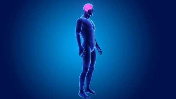 3d Brain with annatomy