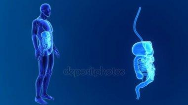 Anatomy of human digestive system