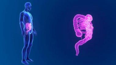 Intestine  with anatomy