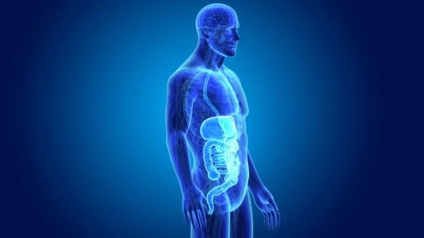 anatomie lidského trávicího systému