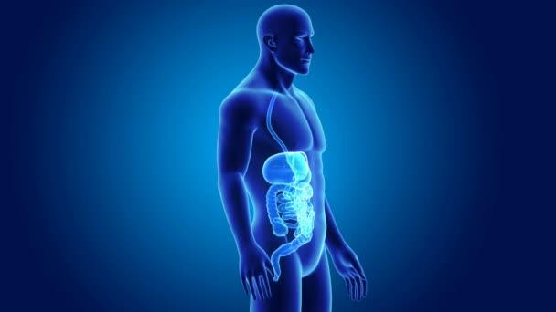 Anatomía del sistema digestivo humano — Vídeo de stock © sciencepics ...