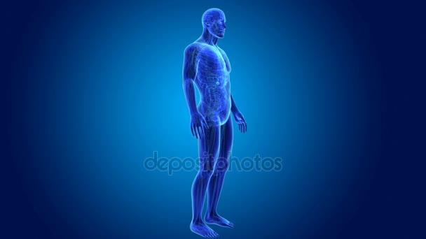 vesícula biliar 3D con anatomía — Vídeo de stock © sciencepics ...