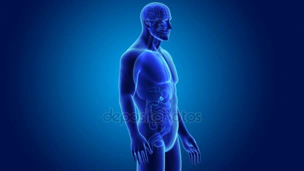 3D Gallenblase mit Anatomie — Stockvideo © sciencepics #153313922