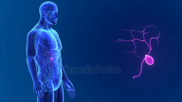 3D žlučník s anatomie
