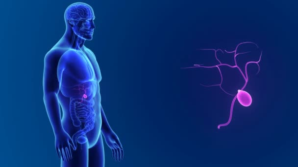 3D Gallenblase mit Anatomie — Stockvideo © sciencepics #153314798