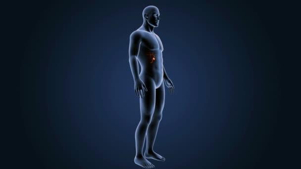 3d Gallbladder with anatomy — Stock Video © sciencepics #153315332