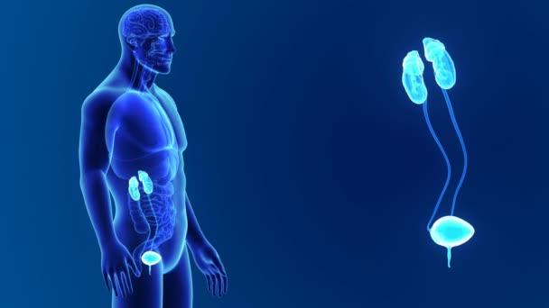 Harnwege mit Körper — Stockvideo © sciencepics #153324078