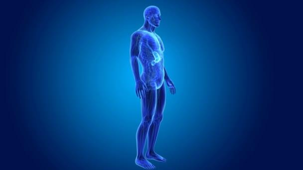 3D anatomie žaludku
