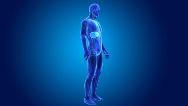 männliche Anatomie der Leber — Stockvideo © sciencepics #153327732