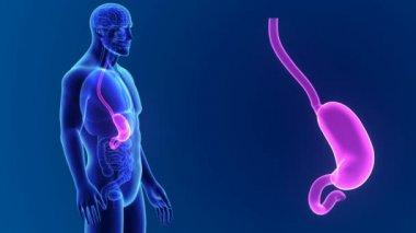 3D Stomach Anatomy